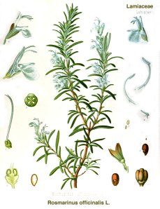 classic graphic of the herb rosemary